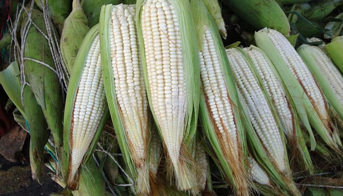 "Corn (""maíz elote"") at the main wholesale market in El Salvador, La Tinedona. (Photo by Maria Moreira)"