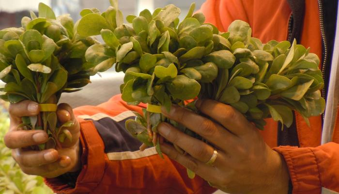 Verdolaga grown at UMass Amherst bunched and ready for market in 2013 (Photo by Ricardo Orellana)