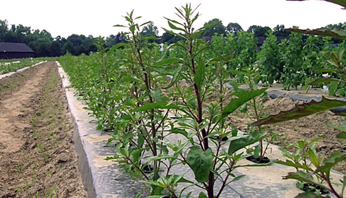 Epazote growing at the UMass Research Farm in Deerfield, Massachusetts in 2008