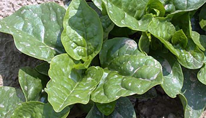 Malabar spinach at UMass Research Farm