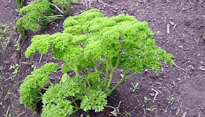 A parsley plant on a commercial farm in Costa Rica. (Foto by Frank Mangan)