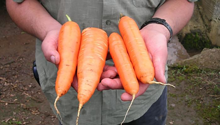Carrots harvested at a farm in Costa Rica. (Photo by Frank Mangan)