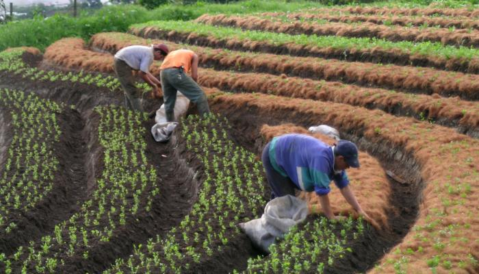 Cilantro being mulched on a terraced field in Costa Rica in 2004 (Photo by Frank Mangan)